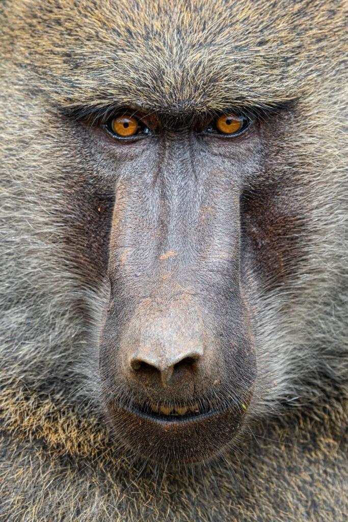 Uganda Queen Elizabeth Park Baboon