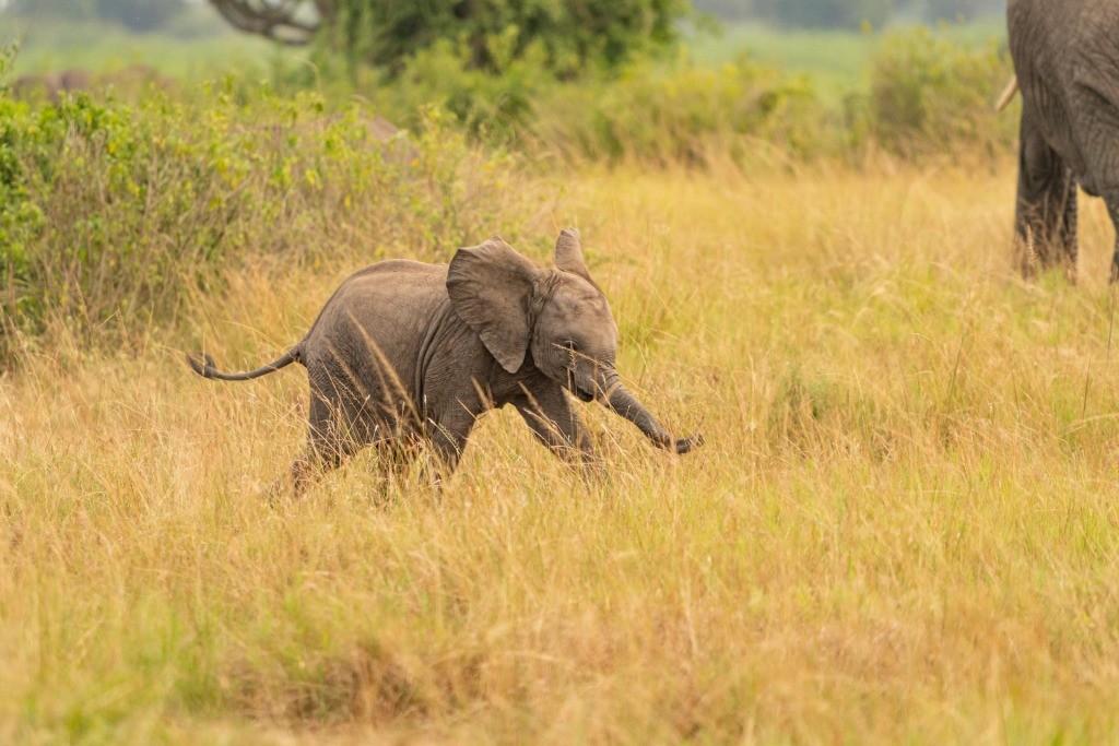 Uganda Queen Elizabeth Park Elephant Cub