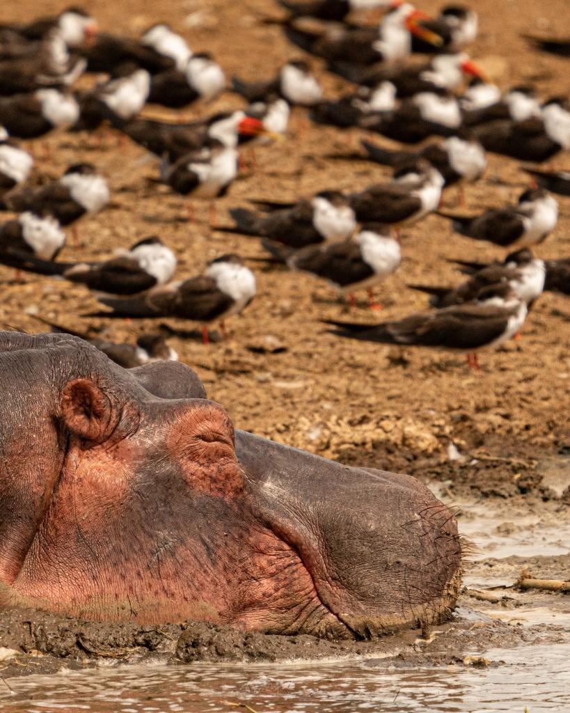 Uganda Queen Elizabeth Park Elephant