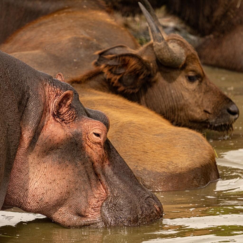Uganda Queen Elizabeth Park Hippo