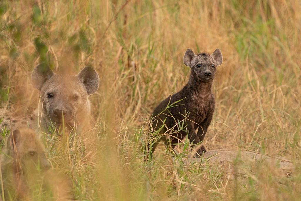 Uganda Queen Elizabeth Park Hyena