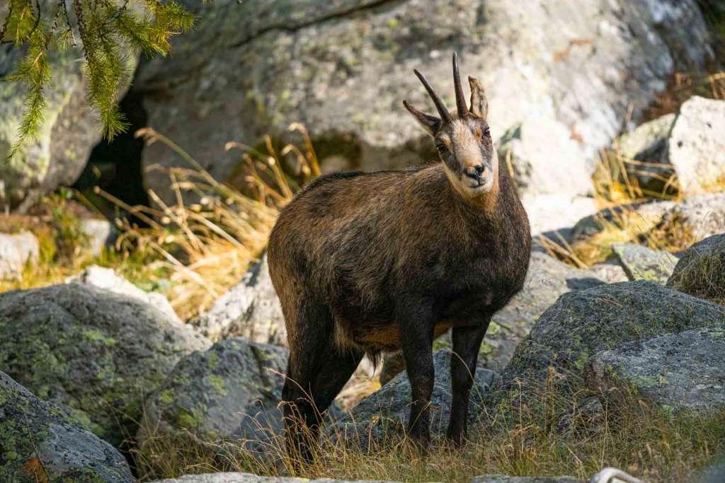 italian alps safari wildlife chamois