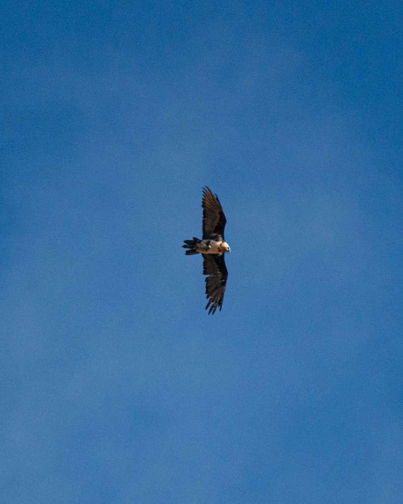 valsavarenche bird of prey