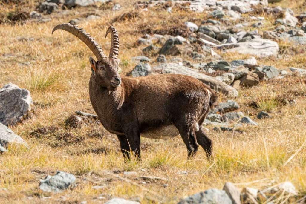 gran paradiso national park wildlife ibex