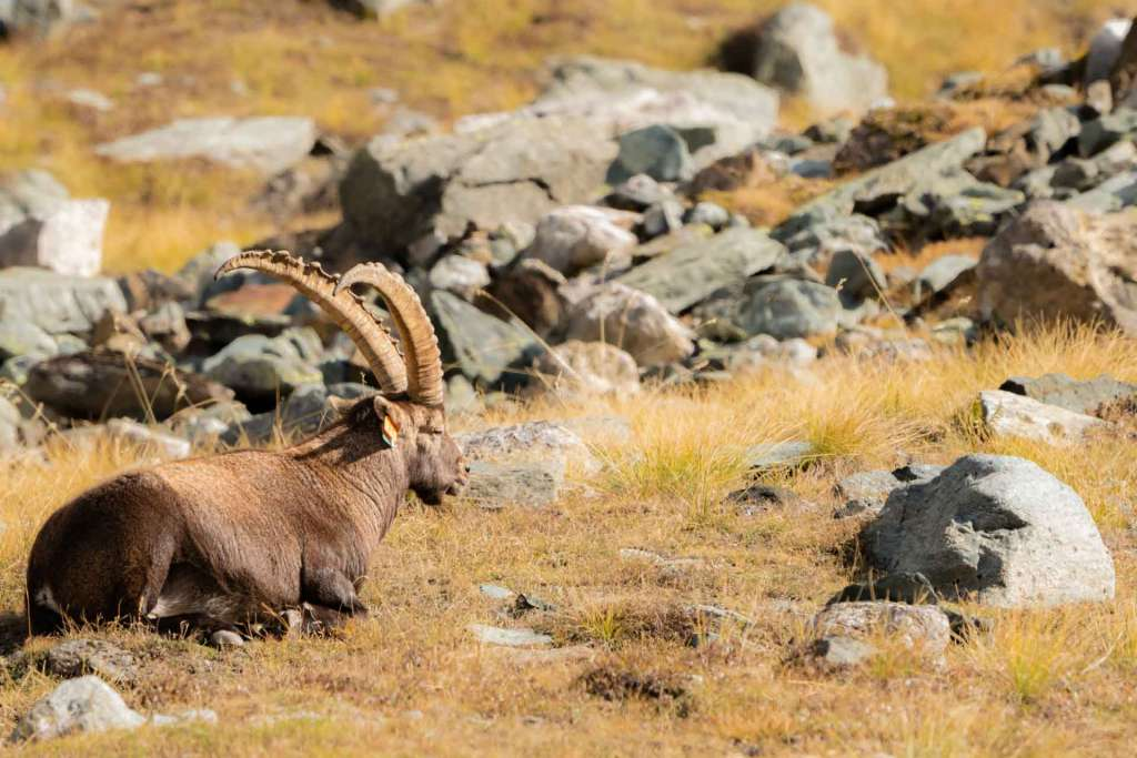 italian alps safari wildlife ibex