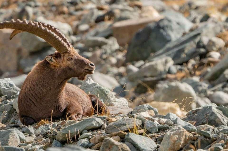 ibex italian alps wildlife safari valsavarenche