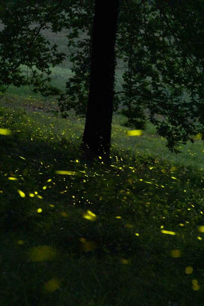 lucciole colli bolognesi firefly fireflies shooting photography 3